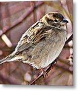 Sparrow II Metal Print