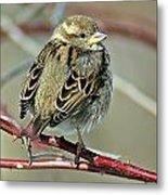 Sparrow IIi Metal Print