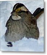 Sparrow V Metal Print