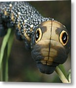 Sphinx Moth Caterpillar Inflating Metal Print by Darlyne A. Murawski