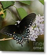 Spice Bush Swallowtail On Lilac Metal Print