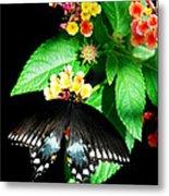 Spice Bush Swallowtail  Metal Print