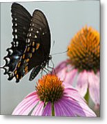 Spicebush Butterfly On Echinacea Metal Print