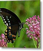 Spicebush Swallowtail Din039 Metal Print