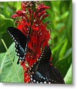 Spicebush Swallowtails Visiting Cardinal Lobelia Din041 Metal Print