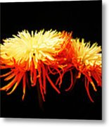 Spider Mums Metal Print by Yvonne Scott