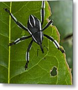 Spider Weevil Papua New Guinea Metal Print