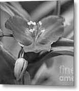 Spiderwort In Black Metal Print
