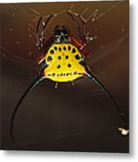 Spiked Spider Gasteracantha Sp In Web Metal Print