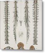 Spinal Cord Anatomy, 1844 Artwork Metal Print