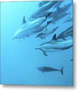 Spinner Dolphins Hawaii Metal Print by Monica and Michael Sweet