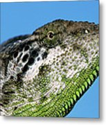 Spiny Chameleon Chamaeleo Verrucosus Metal Print