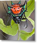 Spinybacked Orbweaver Spider Solomon Metal Print