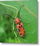 Spotted Asparagus Beetle - Crioceris Duodecimpunctata Metal Print