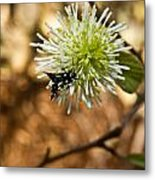 Spotted Moth On Fothergilla Metal Print