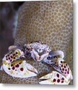 Spotted Porcelain Crab Feeding Metal Print