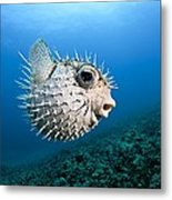 Spotted Porcupinefish Metal Print