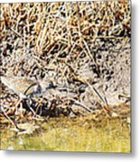 Spotted Sandpiper At The Canal Metal Print