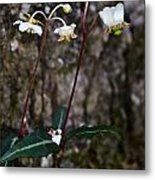 Spotted Wintergreen Plants Metal Print