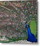 Spreading My Feathers Metal Print