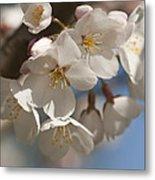 Spring Blooming Yoshino Cherry Tree Metal Print