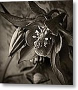 Spring Columbine  Metal Print