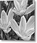 Spring Crocus In Black And White Metal Print