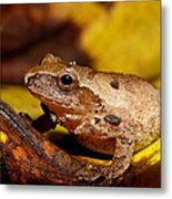 Spring Peeper On Fall Leaves Metal Print by Griffin Harris