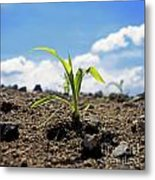 Sprout Of Maize Metal Print