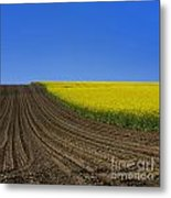 Sprouting Field Of Sunflowers And Field Of Rape. Auvergne. France. Europe Metal Print