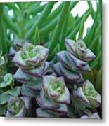 Squarely Purple Succulent Crassula Baby Necklace Metal Print