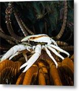 Squat Lobster Carrying Eggs, Indonesia Metal Print