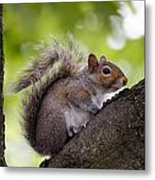 Squirrel Before Green Leaves Metal Print