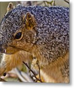 Squirrel Having A Heart Attack Metal Print