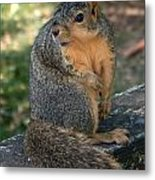 Squirrel Looking For A Hand Out Metal Print