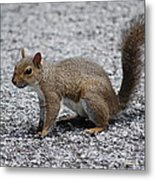 Squirrel On A Road Metal Print