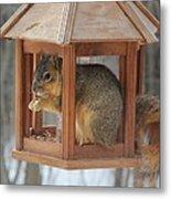 Squirrel Sneaking Food Metal Print