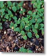 St. Johns Wort Metal Print by Science Source