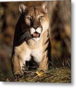 Stalking Mountain Lion Metal Print