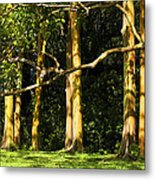 Stand Of Rainbow Eucalyptus Trees Metal Print