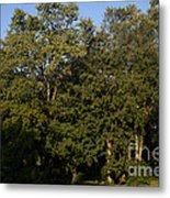 Stand Of Sugar Maple Trees Metal Print