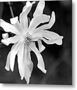 Star Magnolia Metal Print by Lisa Phillips