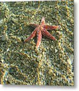 Starfish In Shallow Water Metal Print
