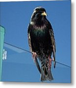 Starling At Santa Monica Pier Metal Print