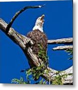 Squawking Alaskan Eagle Metal Print