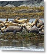 Stellers Sea Lion Eumetopias Jubatus Metal Print