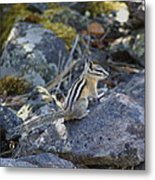 Straight Tailed Chipmunk On A Rock Metal Print