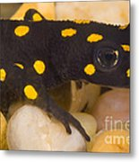 Strauchs Spotted Newt Metal Print