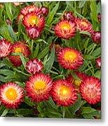 Strawflower Helichrysum Sp Red Variety Metal Print