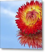 Strawflower Reflection Metal Print